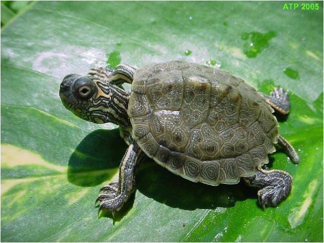 Texas Map Turtle for Sale Texas Map Turtle Care Business Ideas 2013