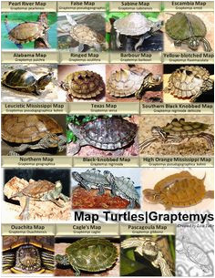 Texas Map Turtles 10 Best Map Turtle Images Map Turtle Turtles Reptiles Amphibians