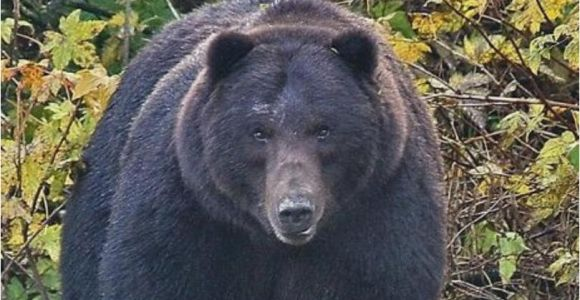 Bears In Ohio Map Map Fatal Bear attacks In north America
