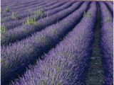 France Lavender Fields Map 21 Best Lavender Fields France Images In 2016 Provence Provence