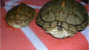 Male Texas Map Turtle for Sale Texas Map Turtle Care Business Ideas 2013