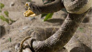 Rattlesnakes In California Map Killer Snakes Of north America Worldatlas Com