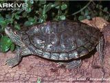 Texas Map Turtles Texas Map Turtle tortoise Diet Sulcata Map Turtle Turtle tortoises